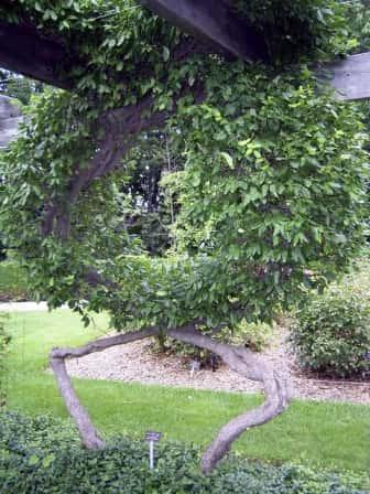 Искусство формирования деревьев (арбоскульптура) - оригинальный ладшафтный дизайн 42123