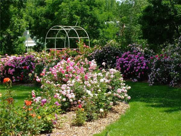 Розы патио: сорта, выращивание, уход и применение в