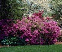 Декоративные кустарники для сада - красивое оформление ландшафта (фото 31098
