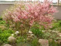 Декоративные кустарники для сада - красивое оформление ландшафта (фото 16204