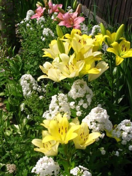 самостоятельного красивые клумбы ирис пион лилии очень интересный веселый