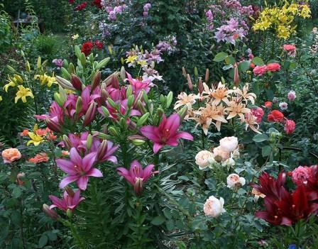 С какими цветами садить лилии