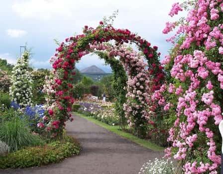 Ландшафтный дизайн: плетистые розы