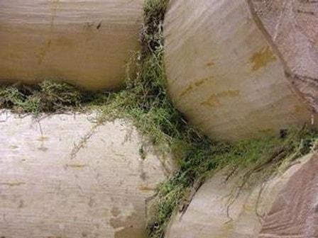Мох сфагнум и кукушкин лен - хороший утеплитель для сруба из бревен и бруса