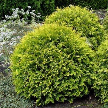 Покупка шаровидной туи в питомнике растений