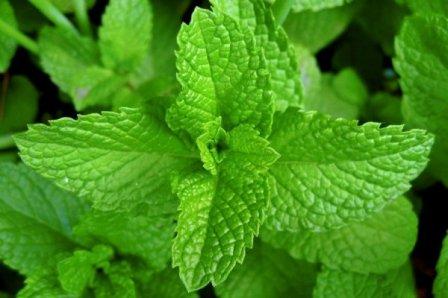 Растения, которые помогут вам избавиться от мух и комаров на участке