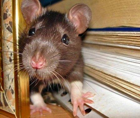 Какой утеплитель не грызут мыши и крысы?