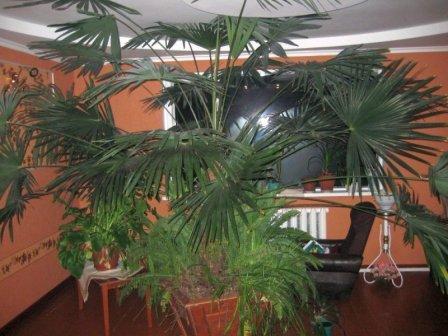 Какую пальму выбрать для выращивания дома?