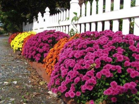 Хризантемы в дизайне сада - фото