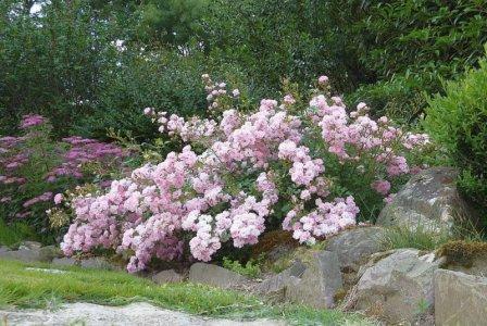 Розы в ландшафтном дизайне сада